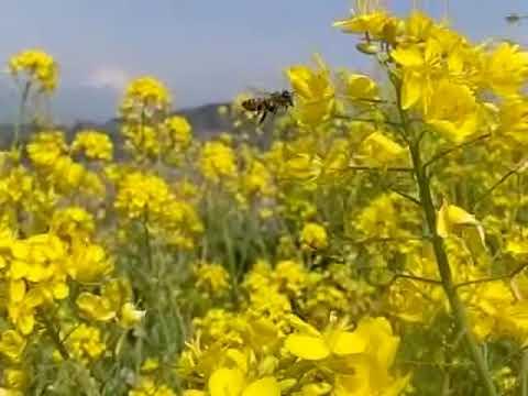 菜の花畑のミツバチ