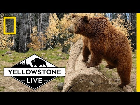 Grizzly Bears in Yellowstone, LIVE! | Yellowstone Live