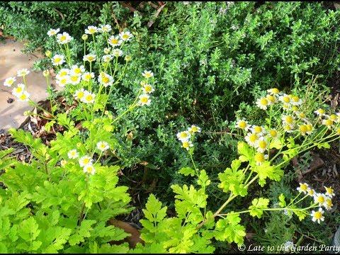 Propiedades y Beneficios de la Matricaria o Magarza   (Tanacetum parthenium)