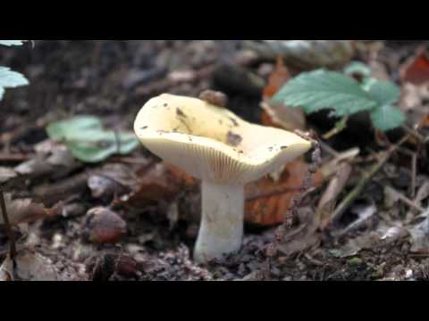 La vernice lotserit significa da un fungo il prezzo