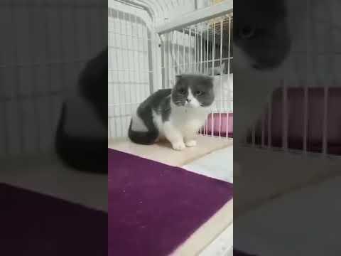Mèo anh lông ngắn siêu đáng iu