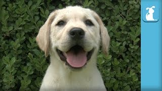 Yellow Labrador Puppies Will Put a Smile On Your Face - Puppy Love