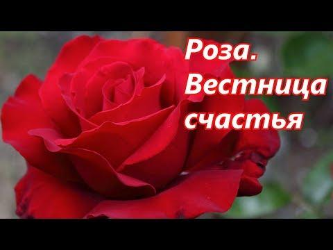 Роза.  Вестница счастья