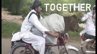 A Man Was Seen In Rural Pakistan Riding A Motorbike With A Cow Sat On His Lap