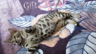 bengal kitten for sale ,  bengal cats ,bengalcattery , kittens for sale   ,бенгал продажа ,