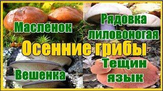 Осенние грибы где собирать как готовить / Съедобные осенние грибы тихая охота