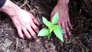 Высаживаем рассаду перца видео