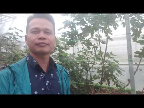 Tham quan vườn Sung Mỹ Đà lạt - 0938665529
