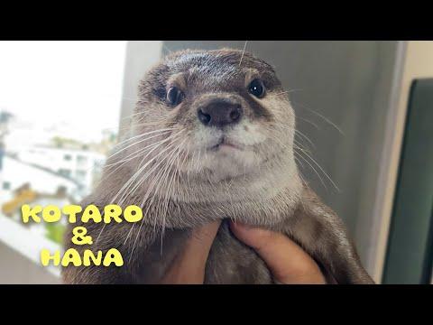 , title : 'カワウソコタローとハナ 叱られた時の表情かわいすぎて怒れない Otter Kotaro&Hana Cute Guilty Face