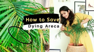 How to Save a Dying Areca Palm