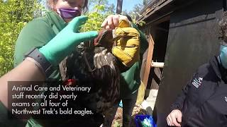 Bald eagles receive yearly exams