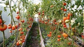 Очень сладкие сорта помидор выращивают в теплице