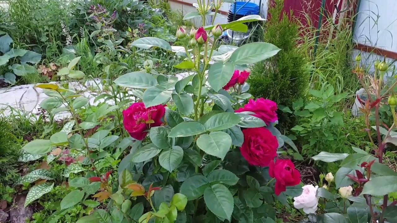 Роза Ascot _ 20.07.2017_1080HD