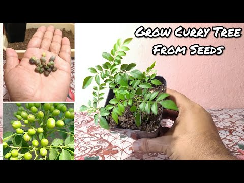 Curry Leaves Plant From Seeds || Propagation Of Curry Leaf Plant From Seeds