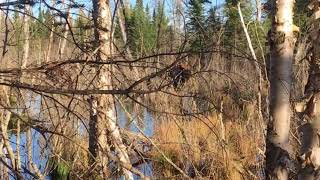 Moose visited us while working on trail