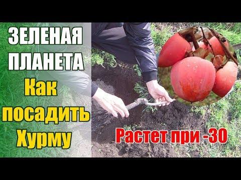"""Как посадить хурму которая выдерживает до -30 /Хурма сорт """"Мидер"""""""