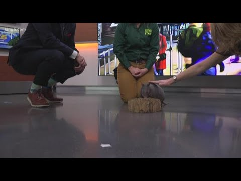 Amarillo the Armadillo wants you to check out WildLights at Woodland Park Zoo