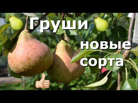 ТОП 5 ВКУСНЕЙШИХ сортов ГРУШ🍐 2018!!!