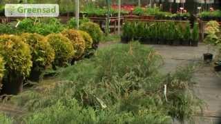 Создание живой изгороди из вечнозеленых растений видео