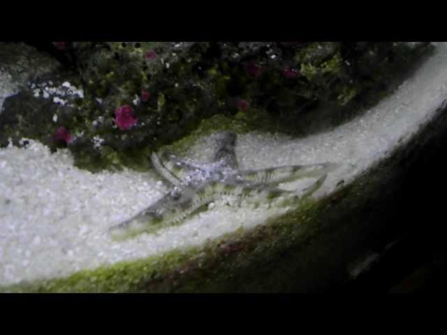 Tiger pistol shrimp attacks sand sifting starfish in reef tank!