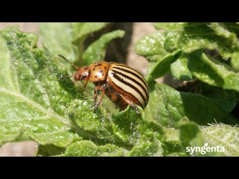 , title : 'Major Potato Insect Pests