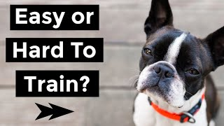 Are Boston Terriers Easy To Train?