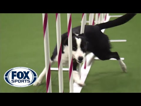 Wow, This Dog Racing Through An Obstacle Course Is Insanely Fast