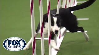 Смотреть онлайн Самая быстрая собака породы бордер-колли