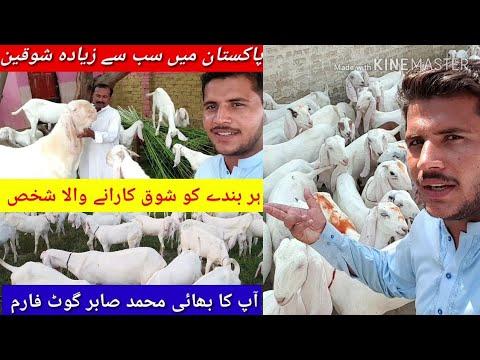 بکریاں پالنا آسان گھر میں چھت تے آرام سے پال سکتے ہو