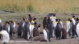 King Penguins - Tierra del Fuego