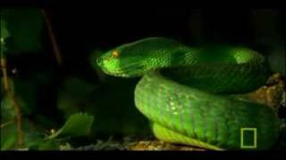 Green Pit Viper - Hunting Technique