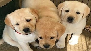 Best Of Cute Labrador Puppies #60 - Funny Puppy Videos 2018