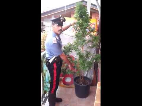 Dentro la casa-serra di marijuana