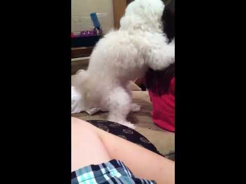 Dog humps my sister