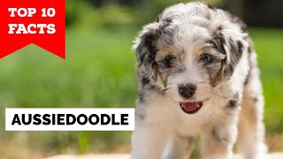 Aussiedoodle - Top 10 Facts