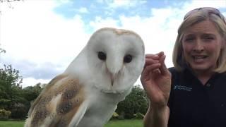 Introduction To British Barn Owls