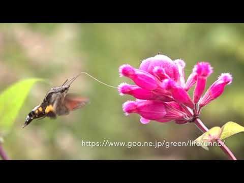 ホシホウジャクの吸蜜 Hummingbird hawkmoth Sucking nectar