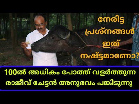 100ൽഅധികം പോത്തിനെ വളർത്തുന്ന രാജീവ് ചേട്ടൻ അനുഭവങ്ങൾ പങ്കുവക്കുന്നു|100 buffalo murrah farm kollam