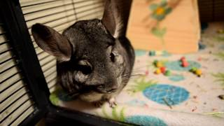 What Owning A Chinchilla Is Actually Like...
