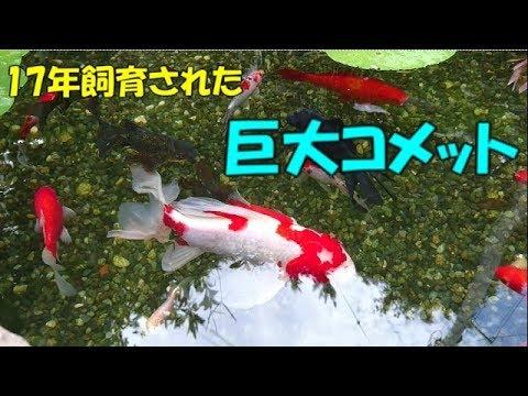 飼育17年目、池の巨大金魚 【17 years old goldfish】