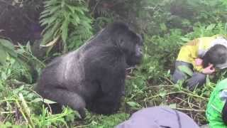 Tense encounter with a Silverback Mountain Gorilla in Rwanda