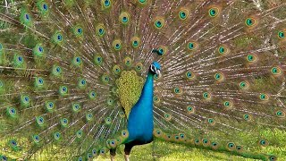 Beautiful  Peafowl !