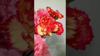 Букеты из гвоздик. Купить гвоздики с доставкой - Доставка цветов