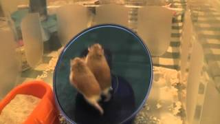 Hamsters on a Flying Saucer wheel