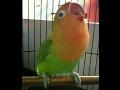 Love Bird Juara Cerewet Ngeklek Panjang