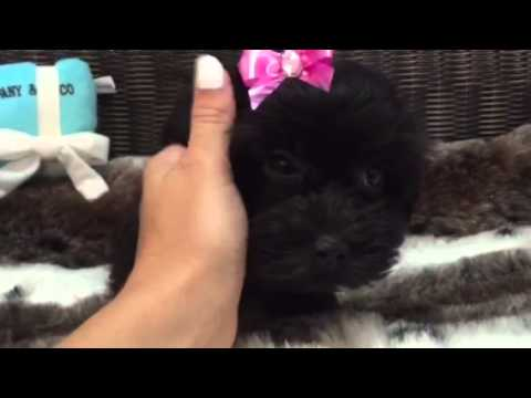 adorable black yorkie poo girl!
