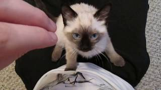 Siamese Kitten LOUDEST Purring