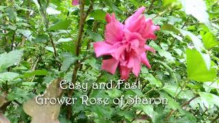 Easy to grow Perennials, bushes and small trees for the Cottage Garden