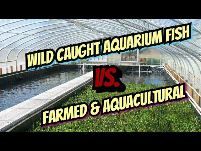 The Great Fish Controversy. Farm Raised vs. Wild Caught -  The Tropical Aquarium Fish Industry -
