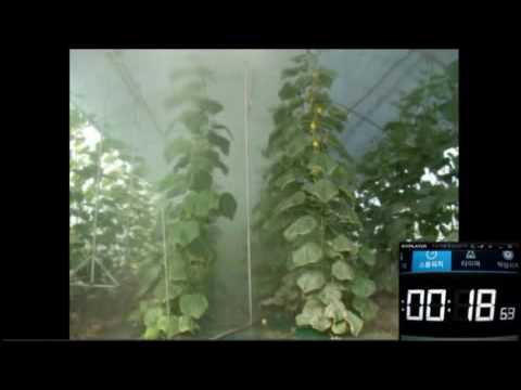 , title : 'Cucumber Greenhouse  Standing Style